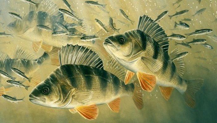 рыба окунь картинка