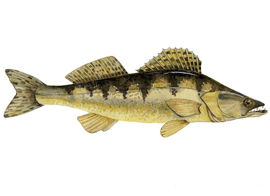 Как выглядит рыба судак фото