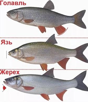 Рыба голавль язь жерех отличия фото