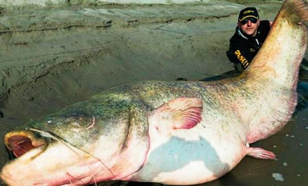Рекордный сом 300 кг река Меконг фото