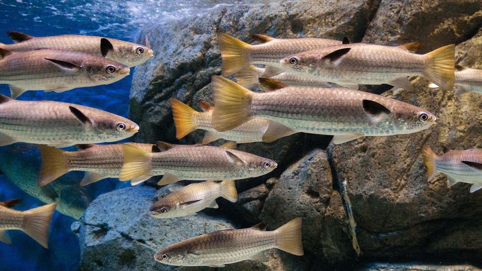 Место обитания пеленгаса фото