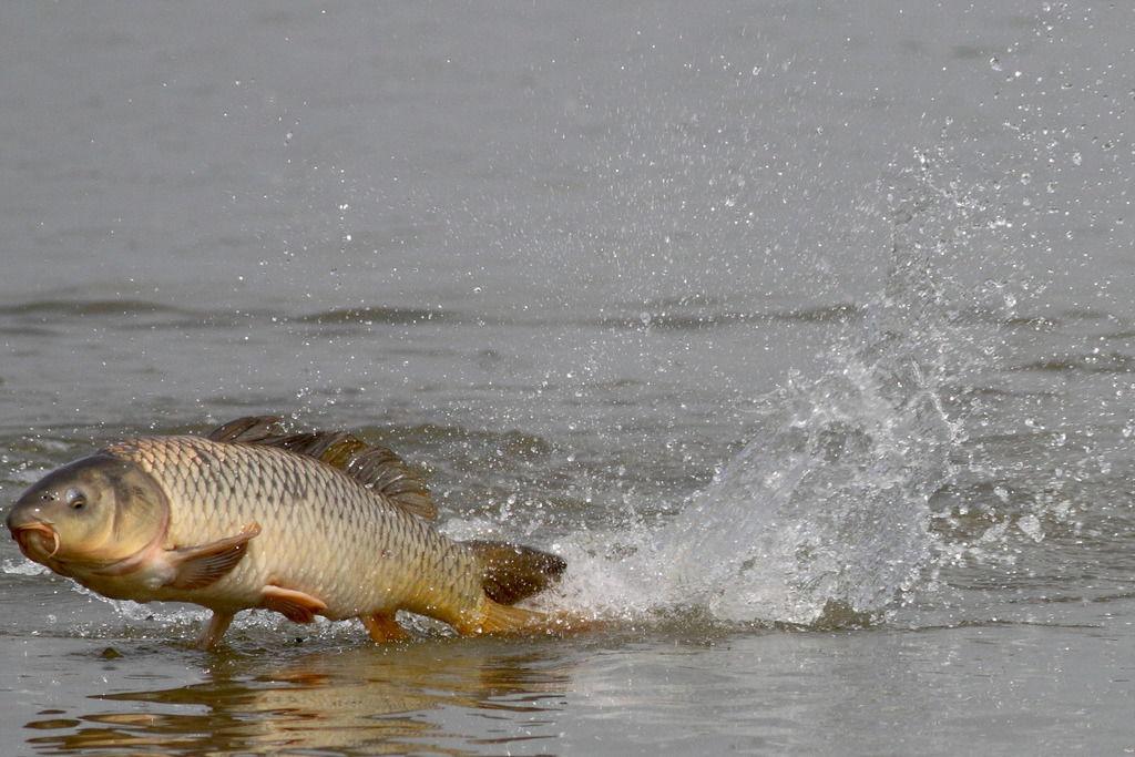 Сазан выпрыгивает из воды фото
