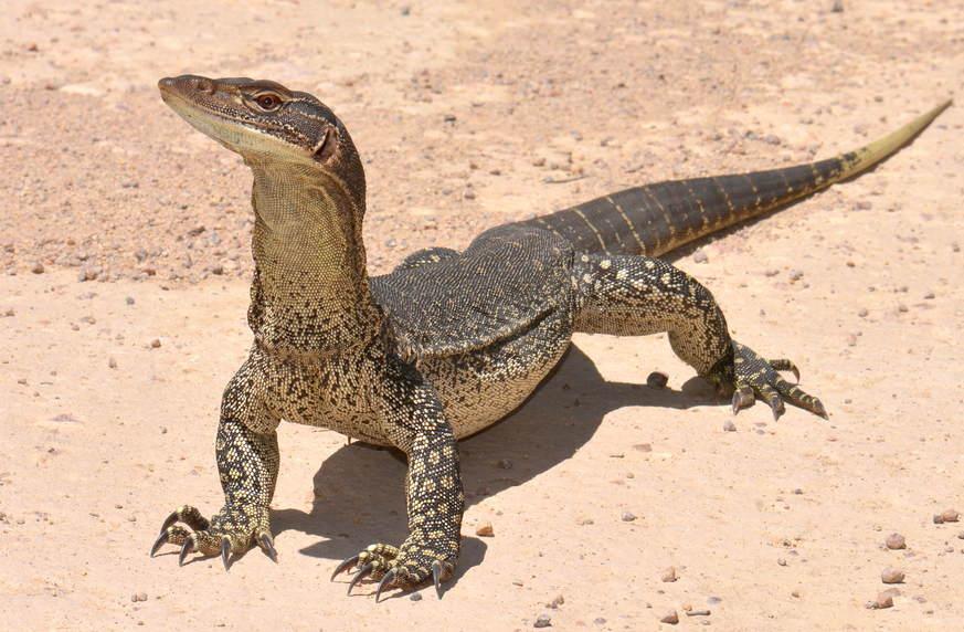 Гигантский австралийский варан фото