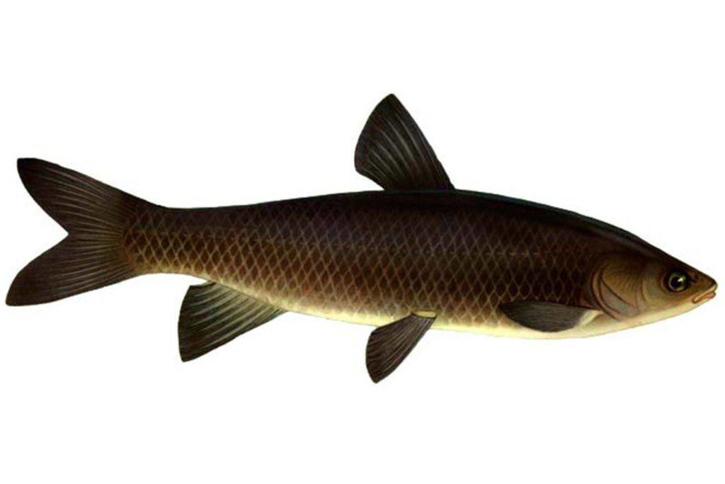 рыба чёрный амур фото