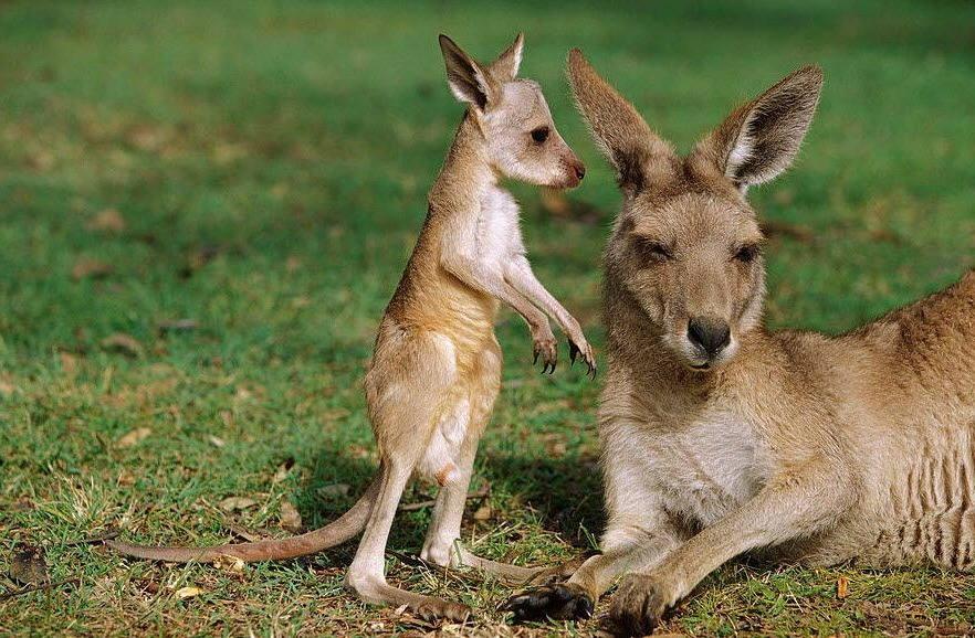 детёныш кенгуру фото