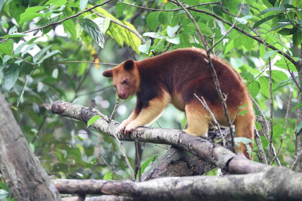 древесный кенгуру Гудфеллоу фото