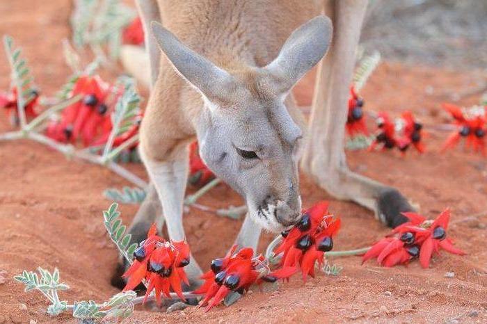 что едят кенгуру фото