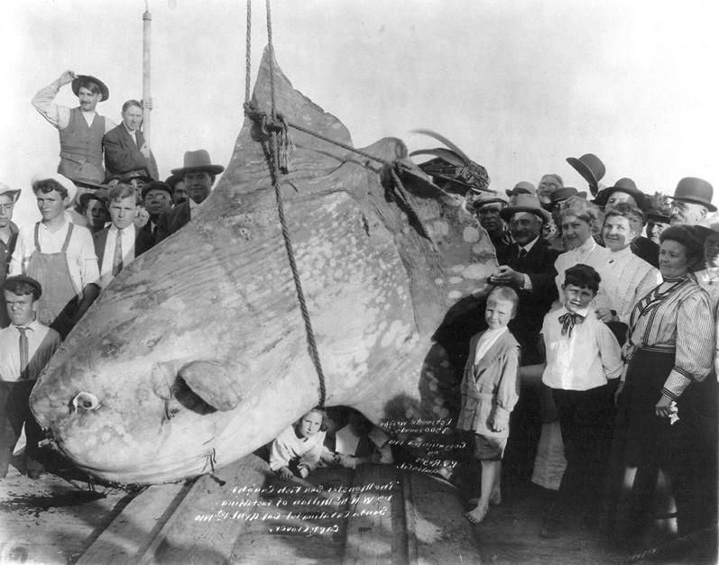 пойманная рыба-луна фото
