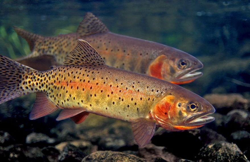 Как выглядит рыба форель фото