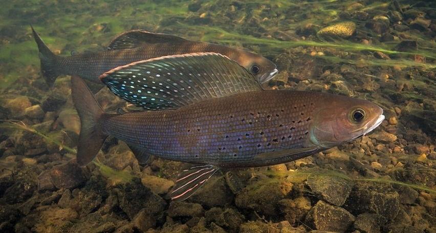 Рыба хариус фото