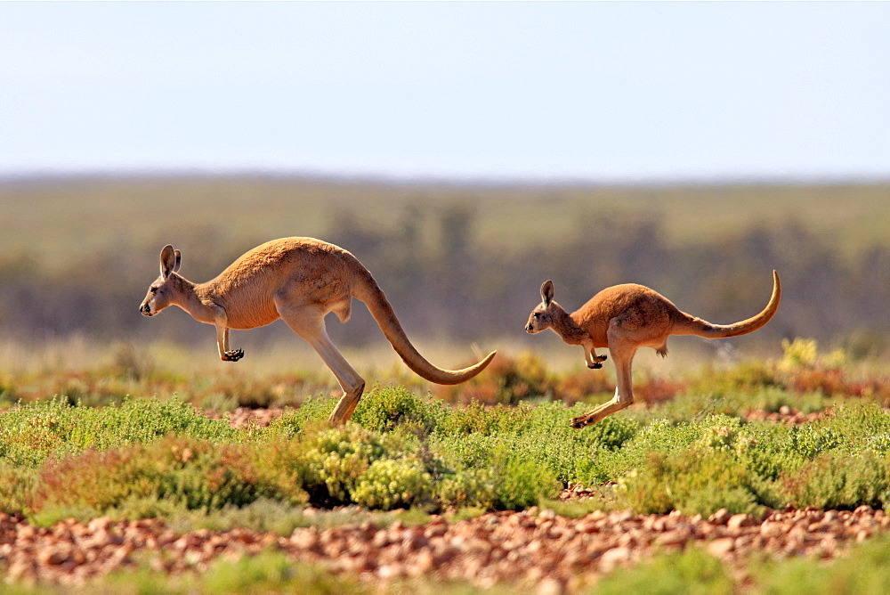 фото прыгающих кенгуру