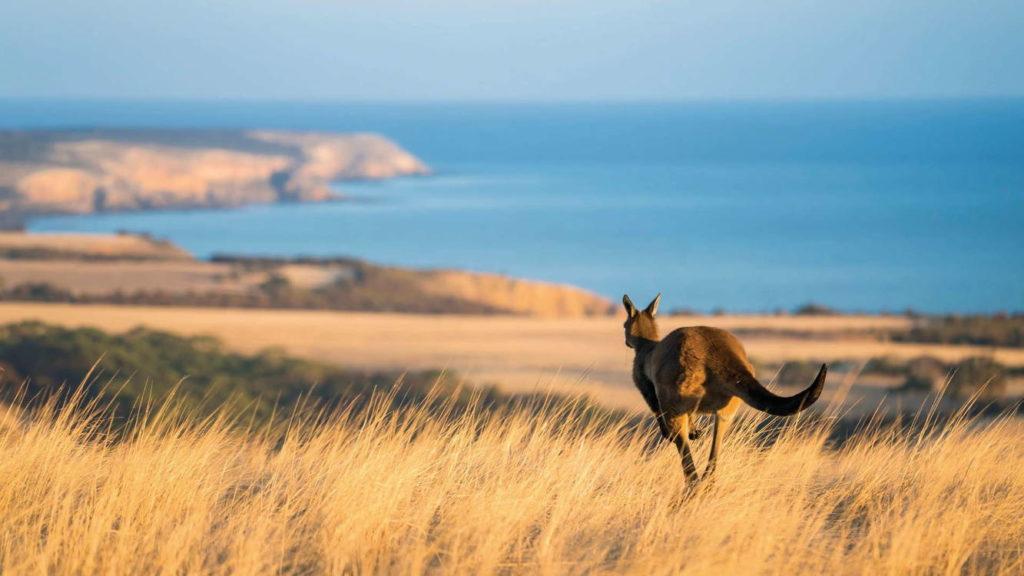 кенгуру где обитает фото