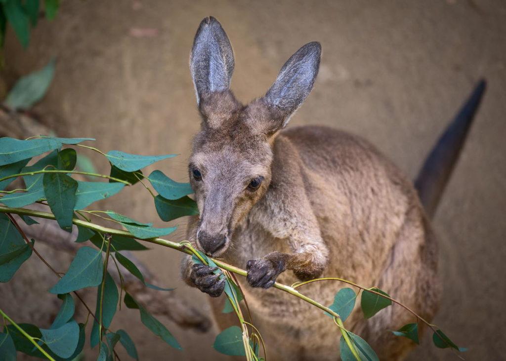 чем питается кенгуру фото