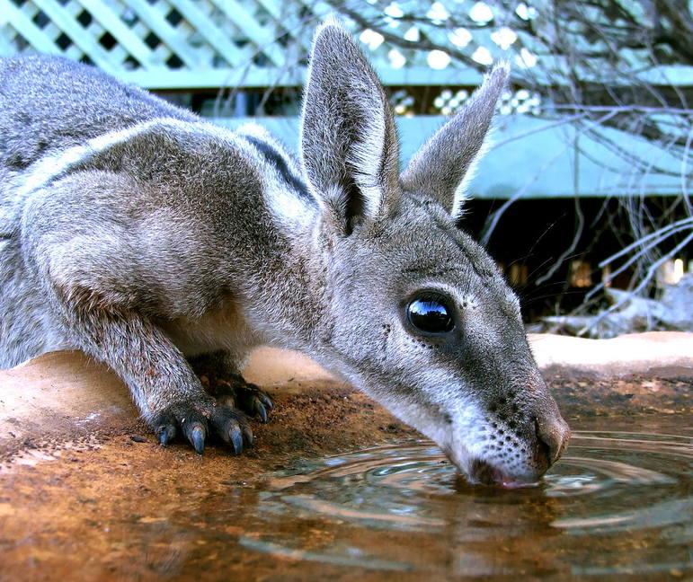 Короткокоготный кенгуру фото