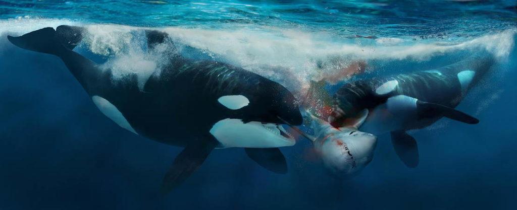 косатки напали на акулу фото