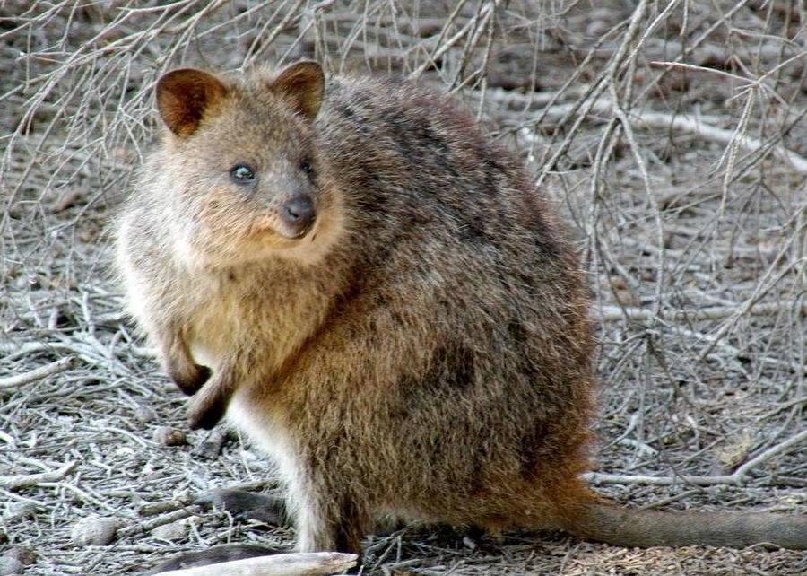 кенгуру квокка фото