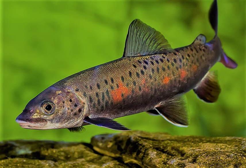 Ленок рыба фото