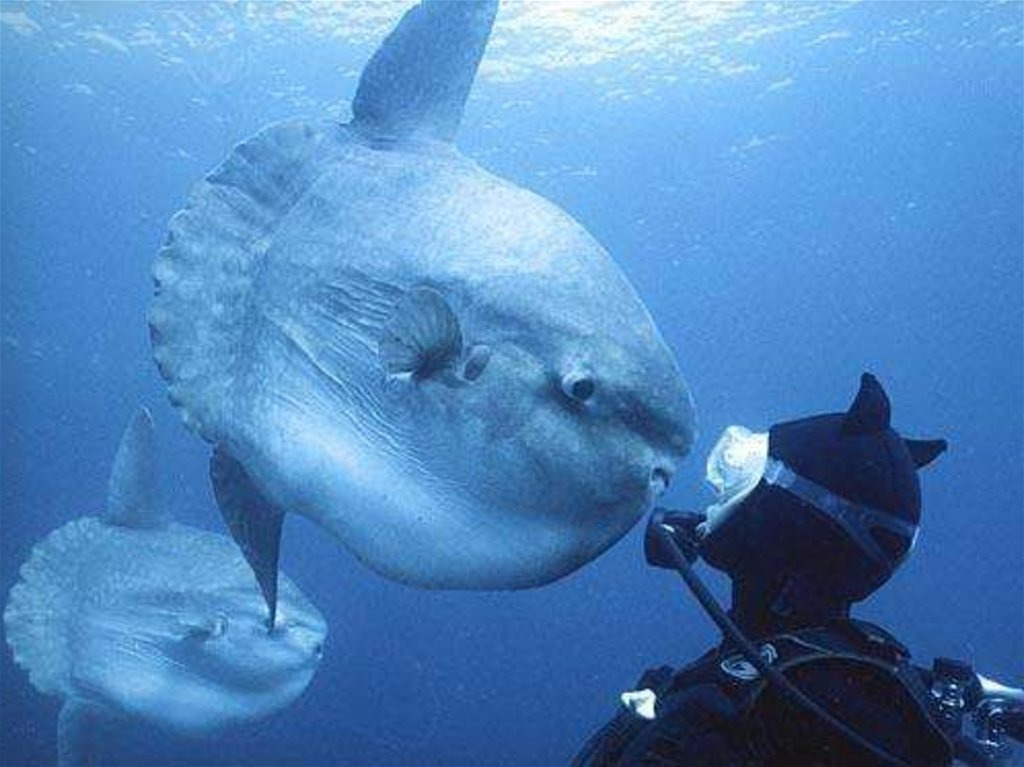рыба-луна и человек фото