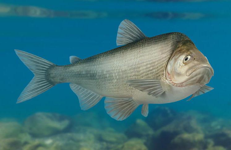 муксун рыба фото