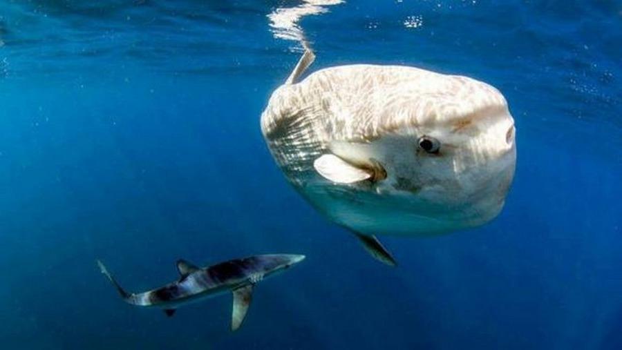 Нападение акулы на рыбу-луну фото