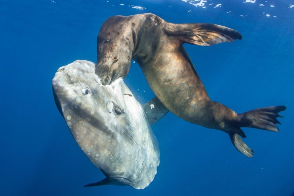 Нападение морского льва на рыбу-луну фото