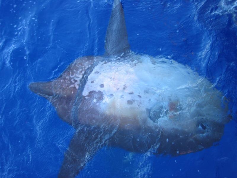 Острохвостая рыба-луна фото