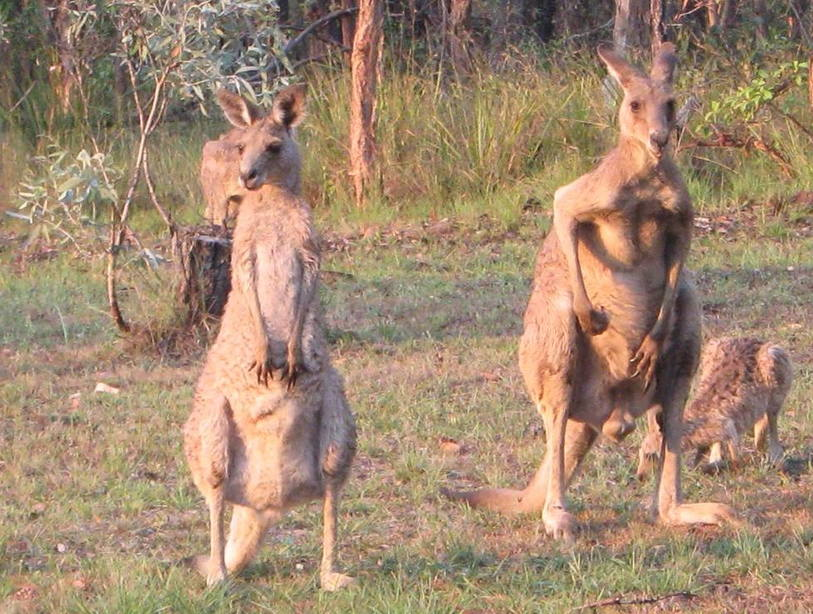 кенгуру самка и самец фото