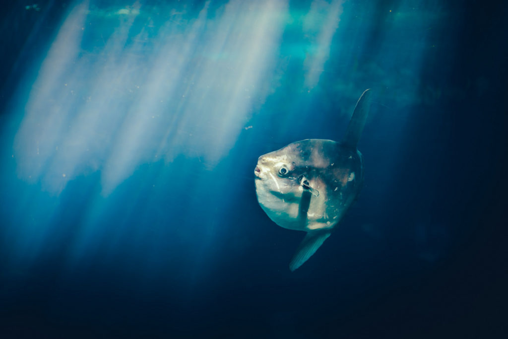 рыба луна питается планктоном фото