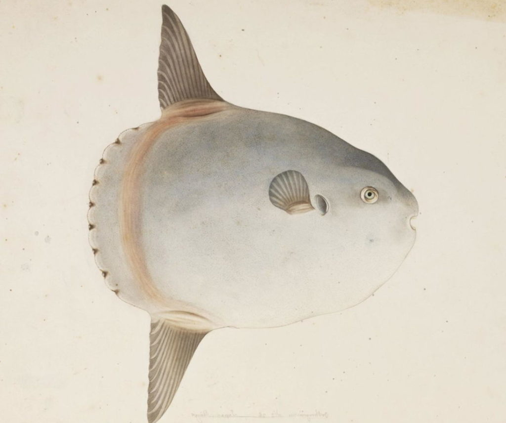 Рыба-луна картинка