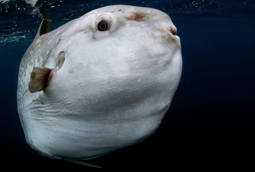 фото рыба-луна