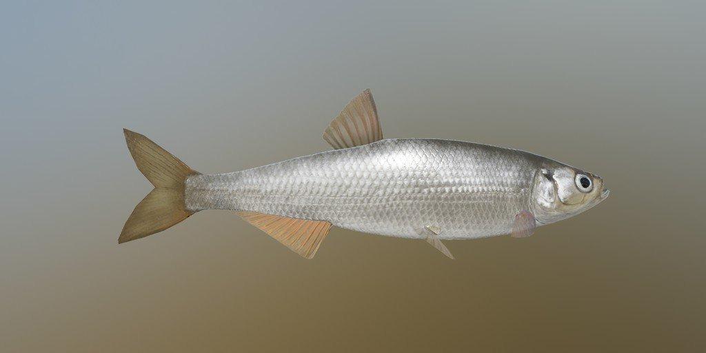 Шемая рыба фото
