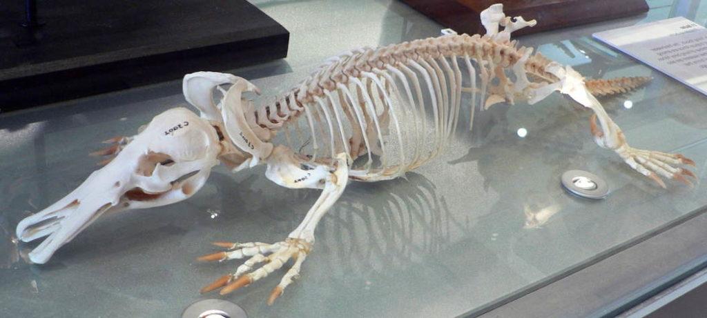 Скелет утконоса фото