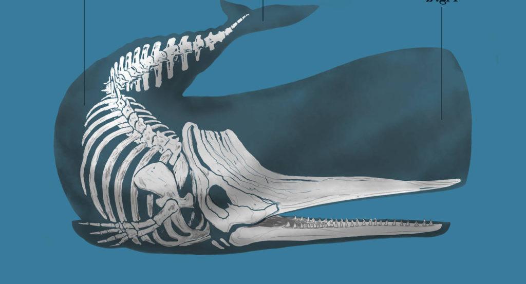 Скелет кашалота фото