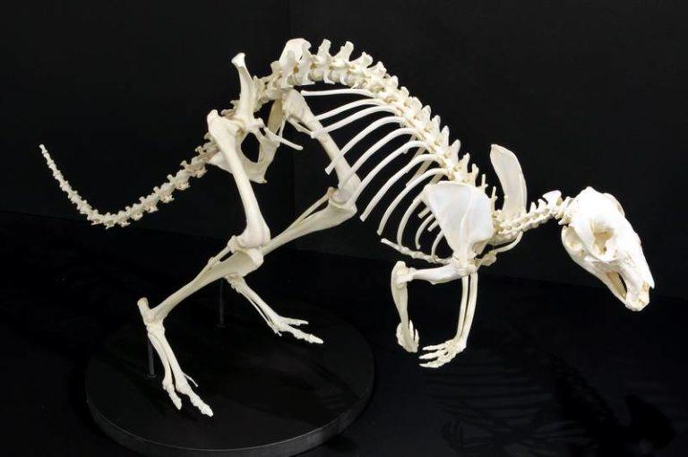 фото скелет кенгуру Беннета