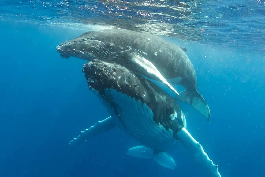 Горбатые киты спаривание фото