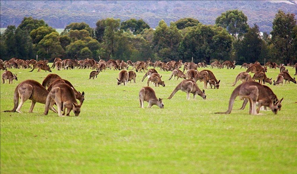 большое стадо кенгуру фото
