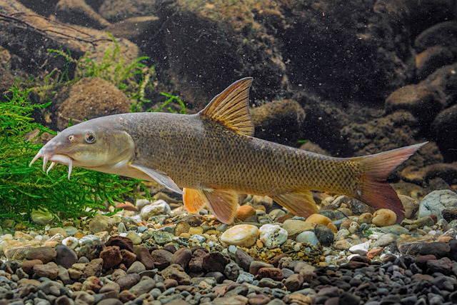 Рыба усач обыкновенный фото