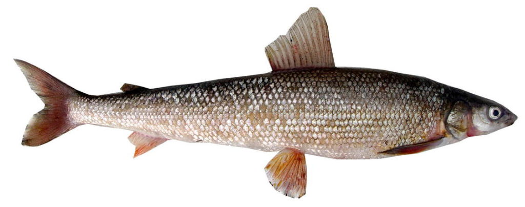 Фото валек рыба
