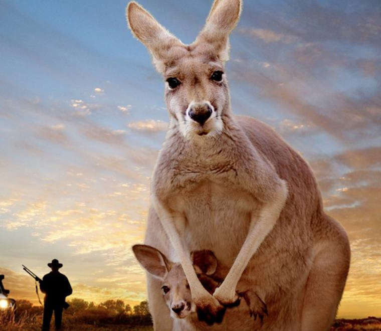 кенгуру и человек фото