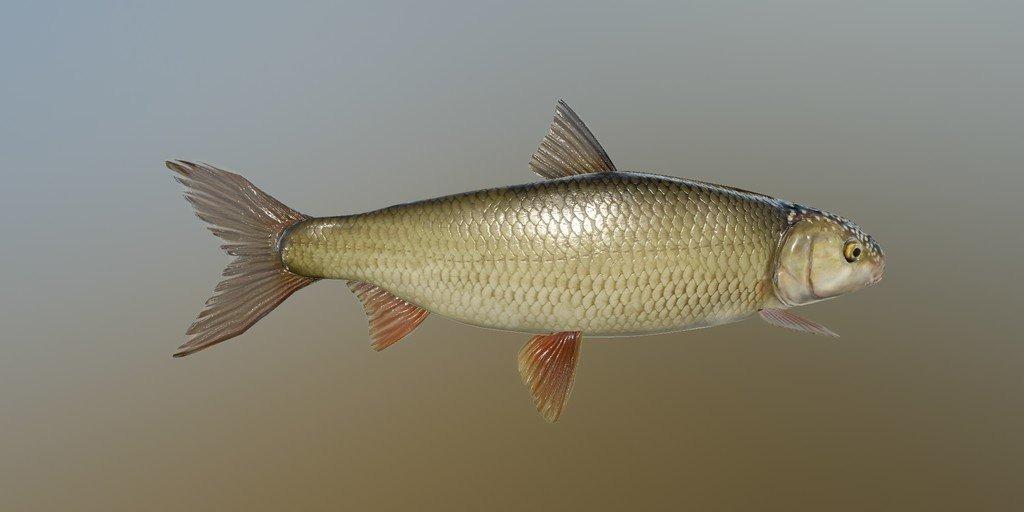Вырезуб рыба фото