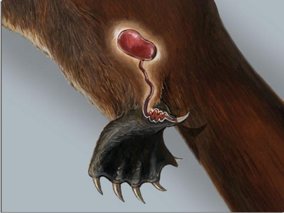 Ядовитая железа у утконоса фото