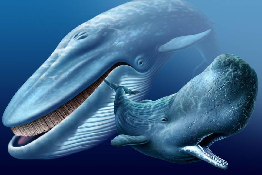усатый и зубатый киты фото