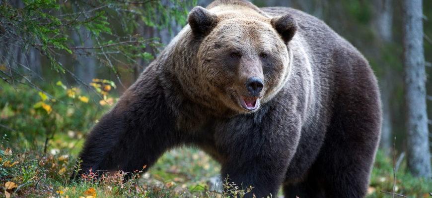 Бурый медведь фотография
