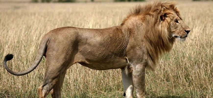 лев животное фото