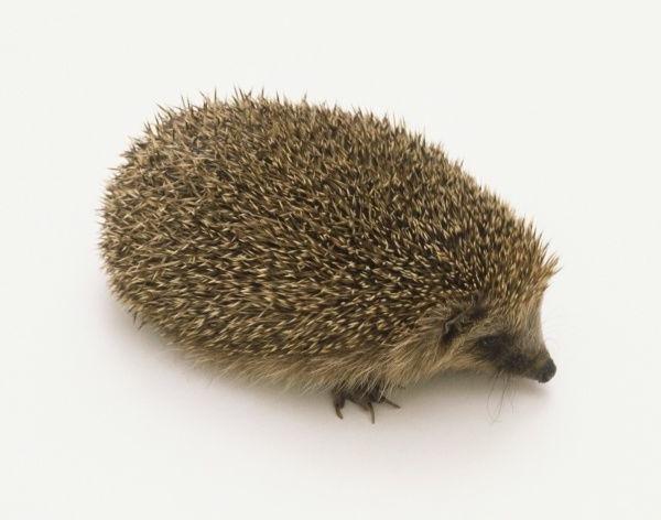 eurasian hedgehog
