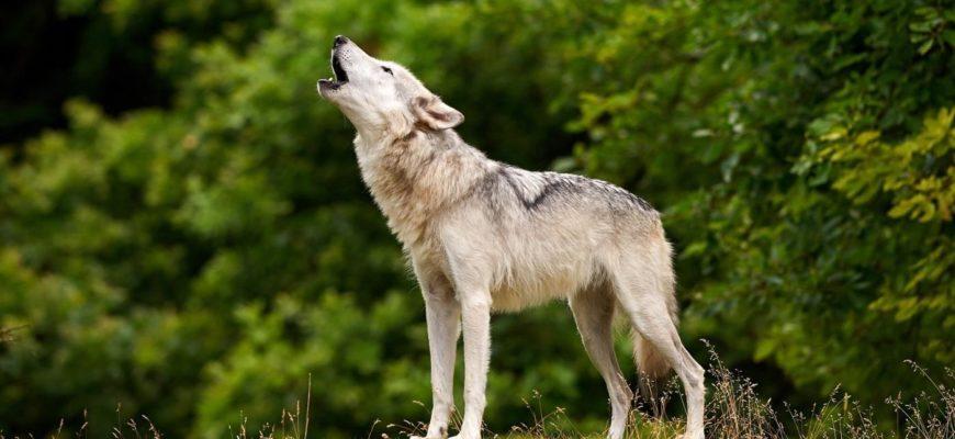 волк фото