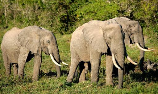 африканский лесной слон