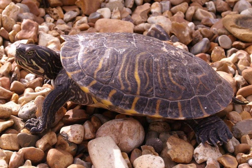 американская пресноводная черепаха