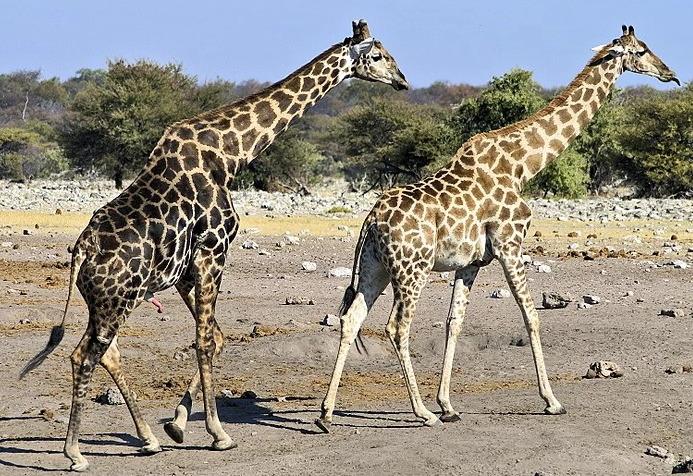 Ангольский жираф фото