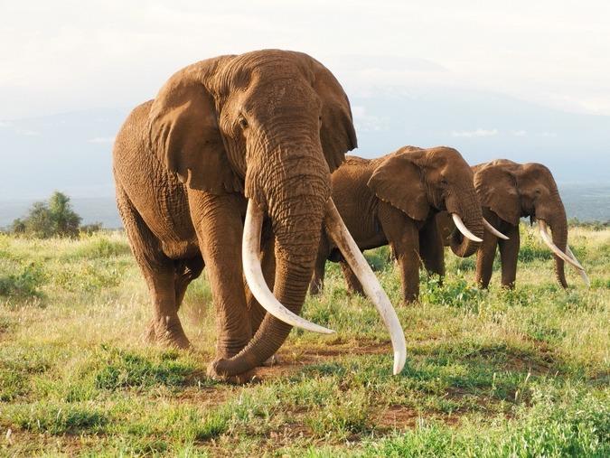 фото большие бивни слона